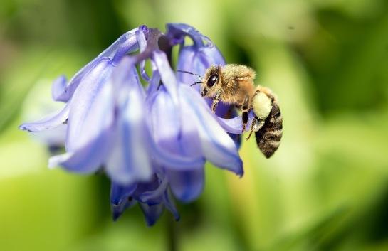 Eine Biene fliegt am 04.05.2015 in Stuttgart (Baden-Württemberg) eine Blume an. Foto: Kim Zickenheiner/dpa
